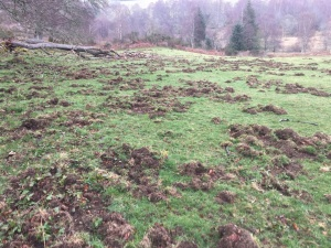 Wild Boar damage in Ross - Shire